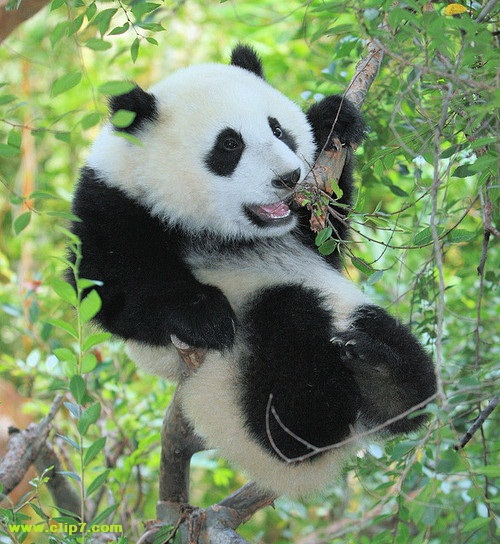 Imagen oso panda en un arbol