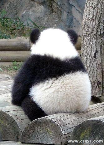 Fotografia oso panda dando la espalda