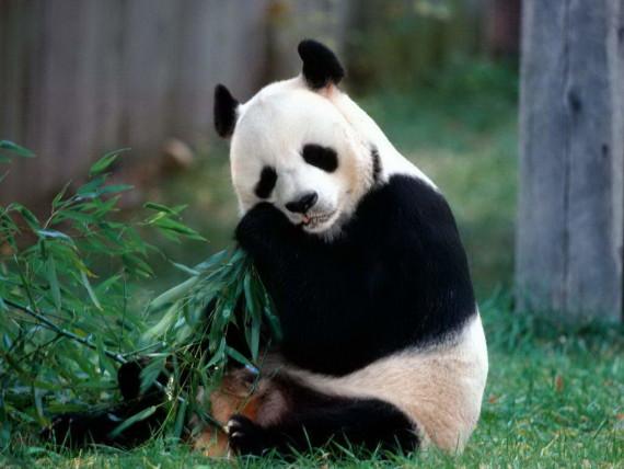 Imagen oso panda comiendo bambu