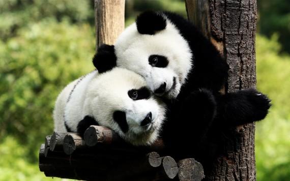 Imagen dos osos pandas cariñosos