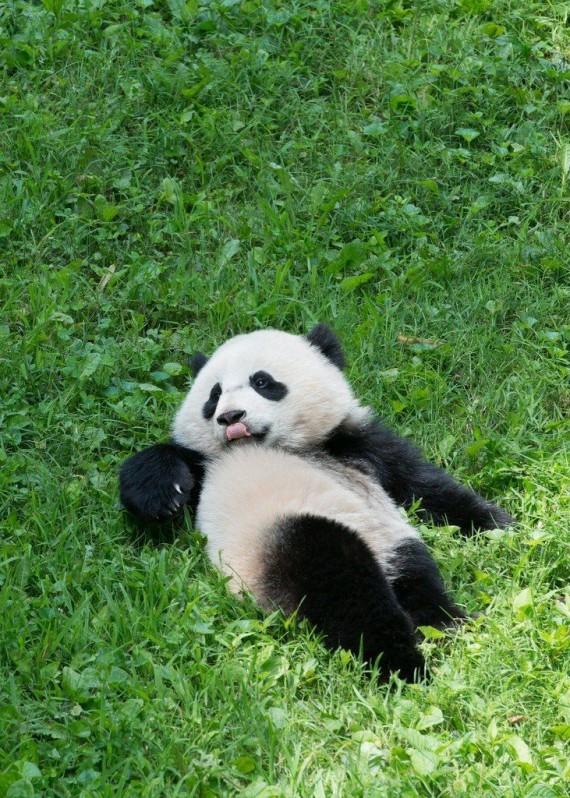 Imagenes osos panda
