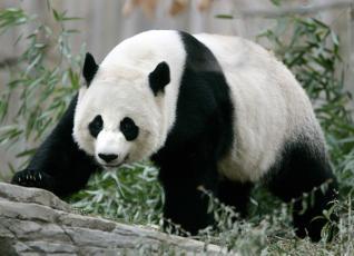 Imagen gran oso panda