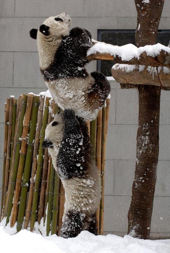 Oso panda ayudando a su amigo a subir