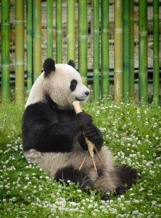 Imagen oso panda comiendo