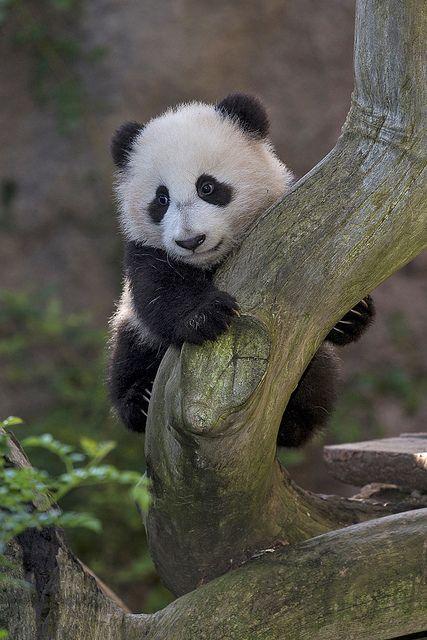 Imagen osito panda trepando