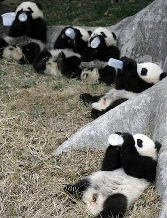Monton de ositos panda tomando su biberon al aire libre