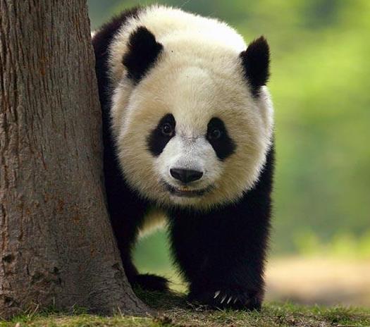 Fotografia gran oso panda