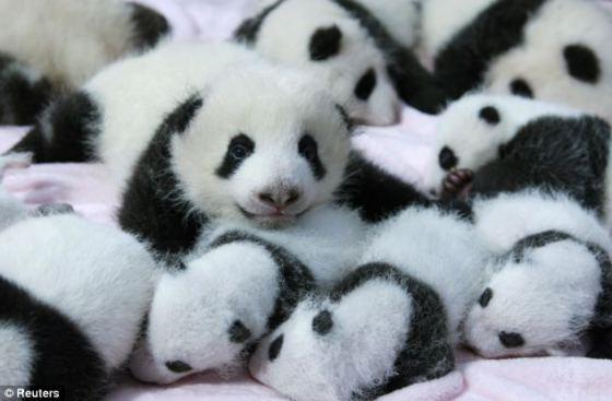 foto osos pandas bebes