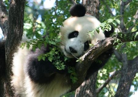 Imagen oso panda descansando entre ramas