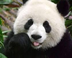 Imagen cara oso panda
