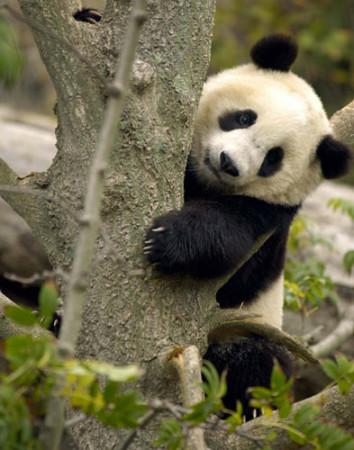 Imagen oso panda jugando en un arbol