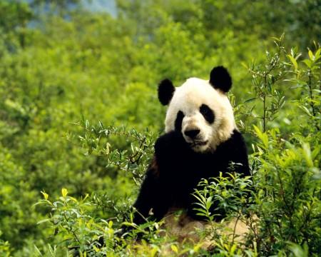 imajenes osos pandas