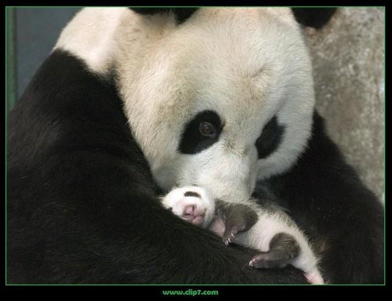 Fotografia mama osa panda con osito panda bebe