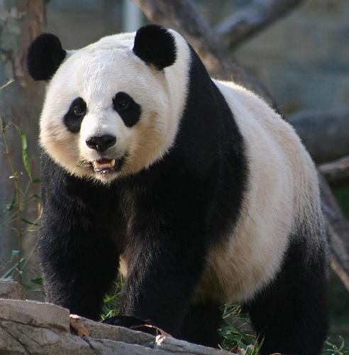 Foto gran oso panda
