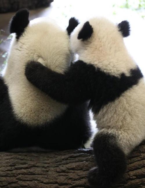 Fotografia osos pandas amistosos