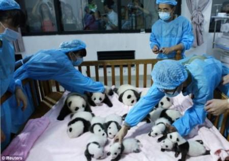 imágenes de osos panda bebés