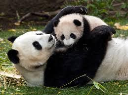 Foto osos panda juguetones