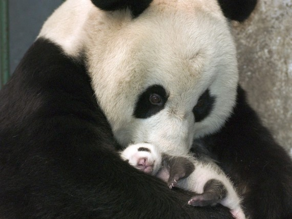 Imagen osa panda con su bebe