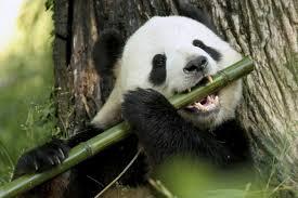Foto oso panda goloso