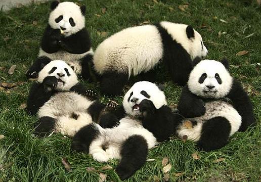 Foto gran familia de osos panda