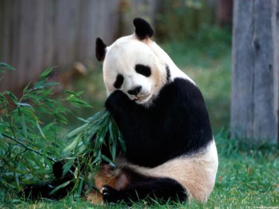 Tierna imagen de oso panda