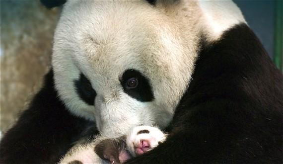 Tierna imagen osa panda con su bebe panda