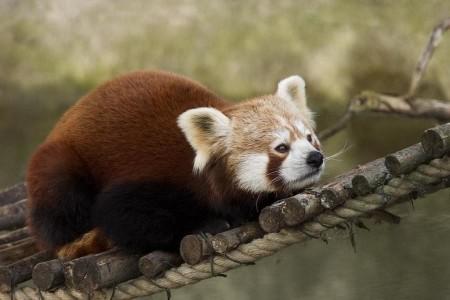 fotos de oso panda