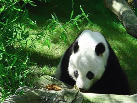 Fotografia oso panda