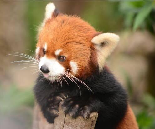 Tierna imagen oso panda rojo - fotografia