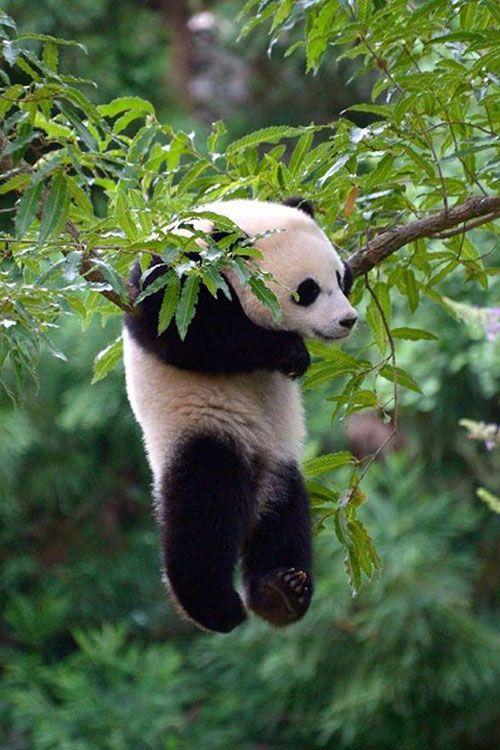 Foto oso panda jugando en un arbol