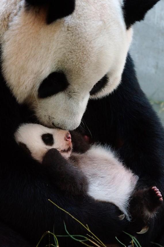 Tierna foto de osa panda con su cria bebe