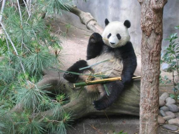 Fotos imagenes osos pandas comiendo bambu