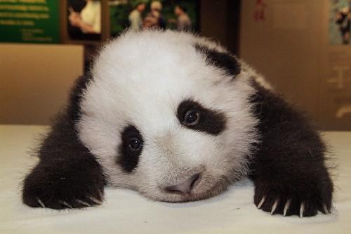 Foto oso panda bebe