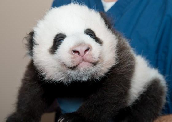Imagen cachorro oso panda