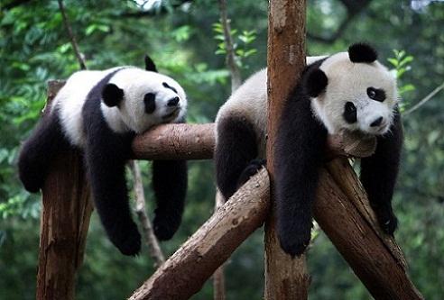 Imagen de dos osos pandas descansando muy relajados
