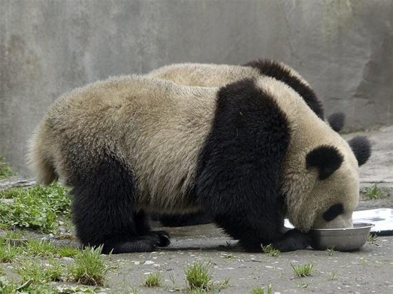 Imagenes osos pandas gigantes