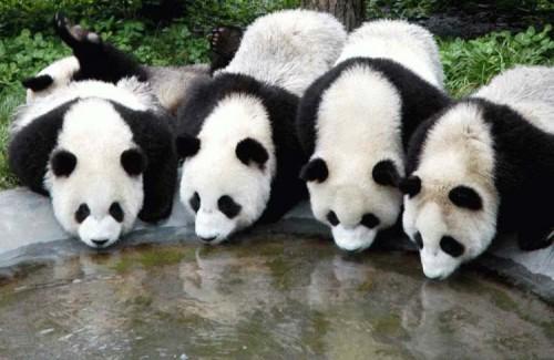 Fotografia varios osos panda tomando agua
