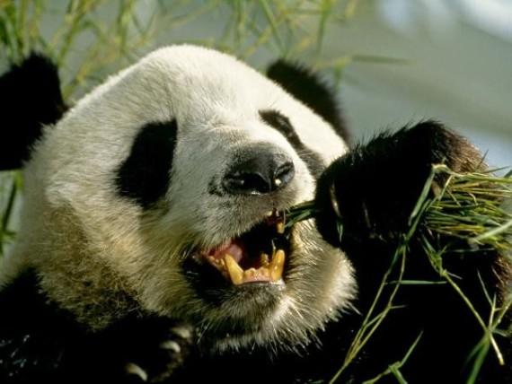 Fotos osos pandas comiendo