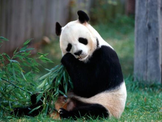 Fotografias osos pandas comiendo