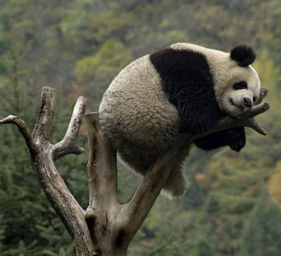 Imagen de oso panda en la punta de un arbol