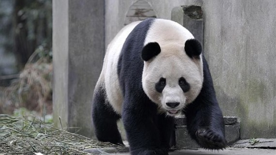 Imagen oso panda gigante