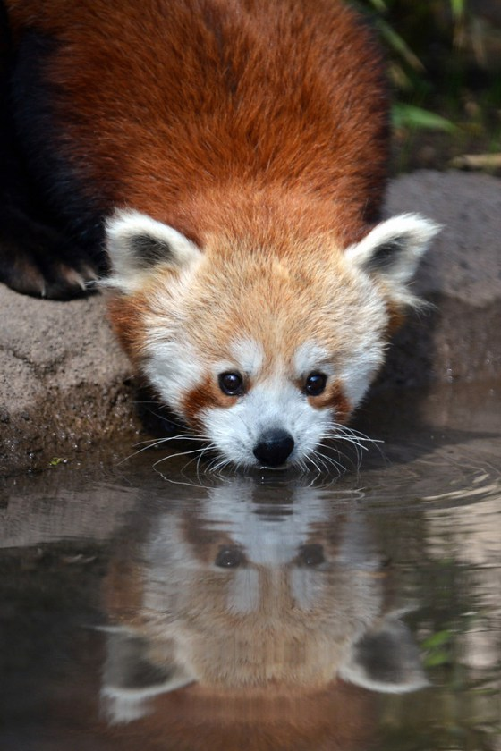 Imagen de oso panda rojo tomando agua