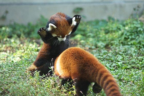 Divertida imagen de osos panda rojo jugando