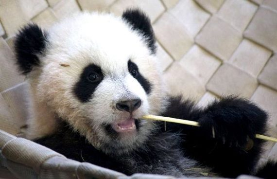 Fotografia oso panda mordisqueando una varilla