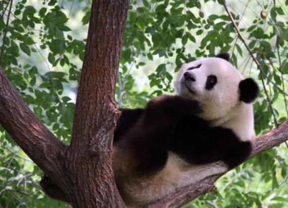 Fotografia de oso panda trepado en un arbol