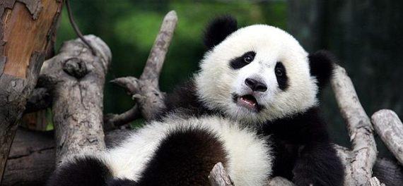Fotografia de oso panda perezoso