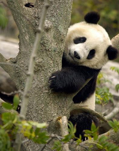 Simpatica fotografia de oso panda abrazando un arbol