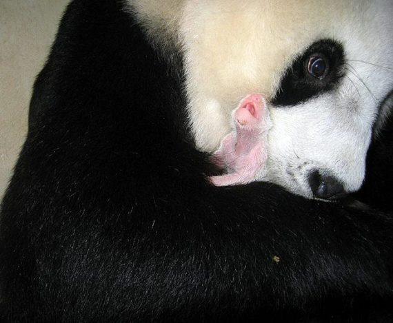 Fotografia osa panda con su cachorro recien nacido