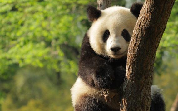 Fotografia oso panda trepando un arbol