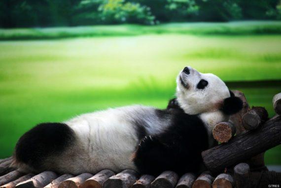 Fotografia de oso panda descansando placidamente